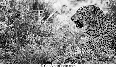 Leopard in the grass in black and white in the Kruger National Park, South Africa.