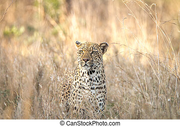Leopard in the grass in the Kruger National Park.