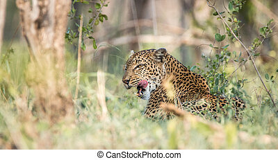 Leopard in the grass,