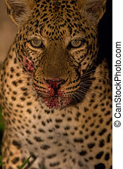 Leopard in the jungle - A high resolution image of a leopard...