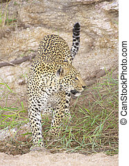 Leopard in the nature reserve