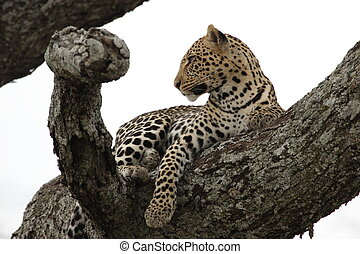 Leopard in the tree in Serengeti National Park