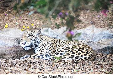 Leopard in the wild on the island of Sri Lanka