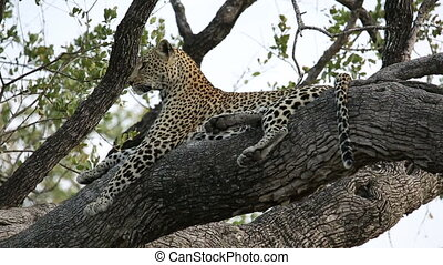 Leopard in tree - A leopard (Panthera pardus) lying in a...