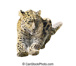 Leopard Isolated on White