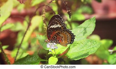 Leopard Lacewing Butterfly, Feeding on a Flower - Solitary...