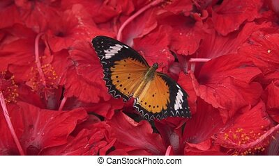 Leopard Lacewing Butterfly on Colorful Flowers. 1080p...