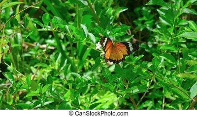 Leopard Lacewing butterfly on the flower. Video UltraHD