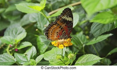 Solitary specimen of Leopard Lacewing Butterfly, with it's typical pattern of orange, black and white, eating from a little flower. 4k footage 2160p