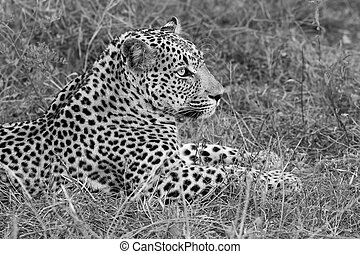Leopard lay down at dusk to rest and relax