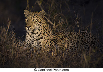 Leopard lay down in darkness to rest and relax