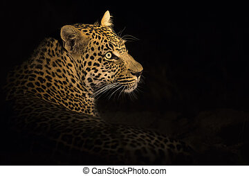Leopard lay down in the darkness to rest