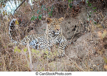 Leopard laying in the grass.