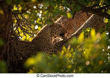 Leopard licks paw lying in leafy tree