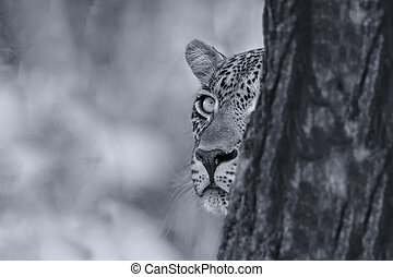 Leopard looking carefully from behind a tree at prey in artistic conversion