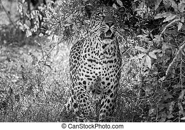 Leopard looking up in black and white in the Kruger National Park, South Africa.