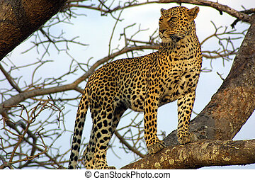Leopard Lookout - Leopard in a tree, Ngala Private Game...