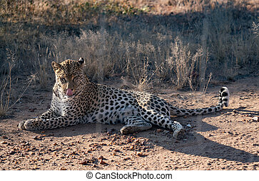 Leopard lying down in the dirt