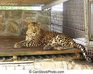 leopard lying in the bar