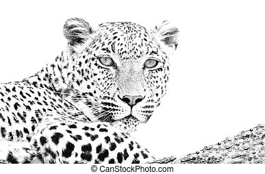 Leopard lying in tree high key black and white art