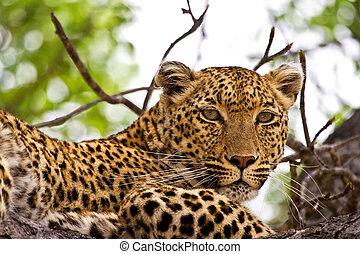 Leopard lying in tree