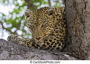 Leopard lying in tree in the shade resting