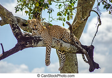 Leopard lying on a branch of a tree in the Masai Mara