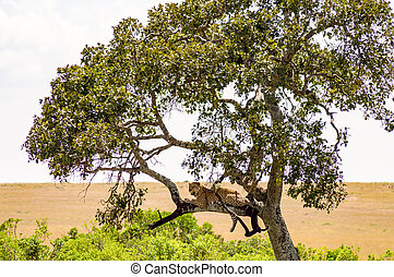 Leopard lying on a branch with two paws hanging in the savannah of Maasai Mara Park in North West Kenya