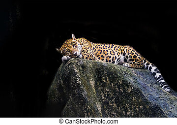 Leopard lying on a rock against a black background.