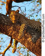Leopard lying on the tree