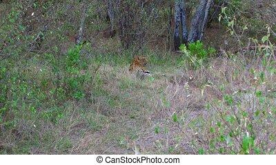 leopard lying under tree in savanna at africa - animal,...