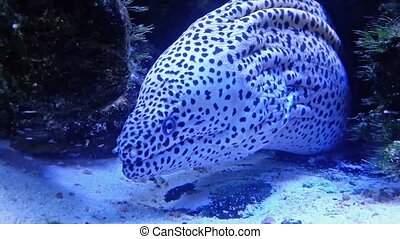Leopard moray. Blue color. - Moray on the hunt. Blue color