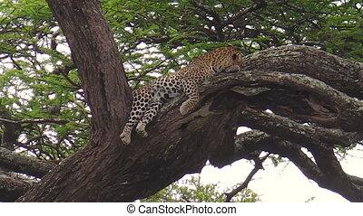 Leopard on a tree of Ndutu