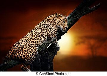 Leopard on savanna landscape background and Mount Kilimanjaro at sunset