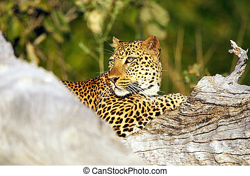 Leopard (Panthera pardus). Animal in the wild