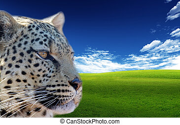 Leopard (Panthera pardus). Animal in the wild with blue sky ...