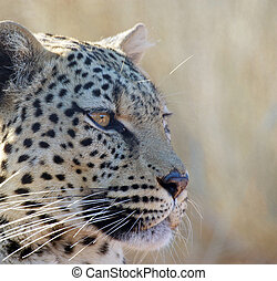 Leopard (Panthera pardus) at the Etosha National Park, ...