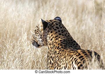 Leopard (Panthera pardus) at the Etosha National Park