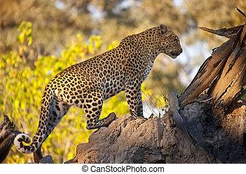 Leopard (Panthera pardus) - Botswana - A Leopard (Panthera ...