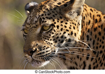Leopard (Panthera pardus) - Botswana - An adult female ...