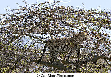 Leopard (Panthera pardus) in a tree with a kill in Serengeti...