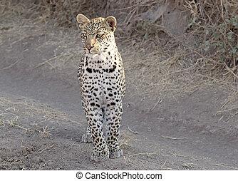 Leopard (Panthera pardus) in the african savanna