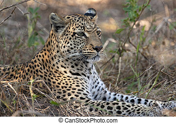 Leopard (Panthera pardus) in the Khwai River region of ...