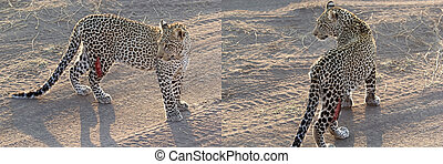 Leopard (Panthera pardus) injured in a leg in the african ...