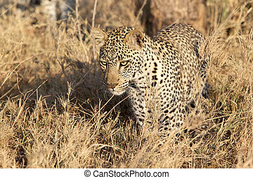 Leopard (Panthera pardus) is hunting in the african savanna