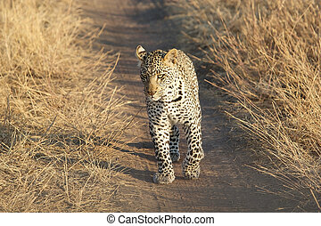 Leopard (Panthera pardus) is walking in the african savanna
