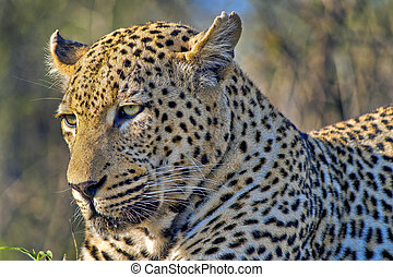 Leopard, Panthera pardus, Kruger National Park, South Africa...