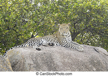 Leopard (Panthera pardus) lying down on rock, looking at ...