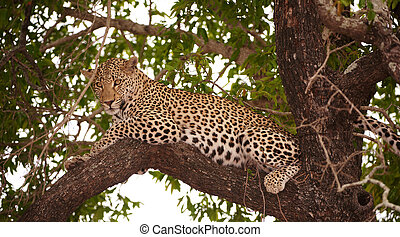 Leopard (Panthera pardus) lying on the tree in nature...