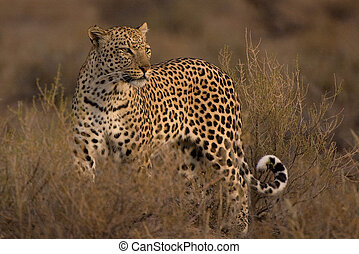 Leopard (Panthera pardus) male in early morning light,...